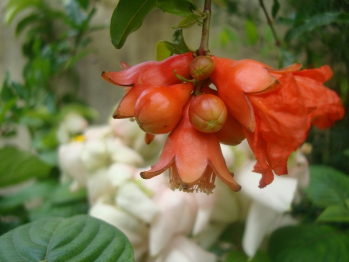 garden delights...pomogranate flower